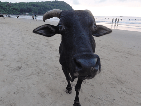 _Indian-sea-cow