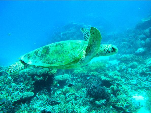 turtle-great-barrier-reef